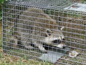 raccoon_cage2